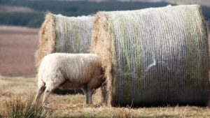 522661-sheep-with-head-stuck-in-bale-of-hay-near-cruden-bay-aberdeenshire-in-2017 (1)